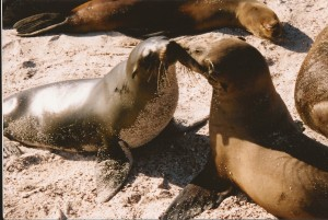 Sea lions kissing